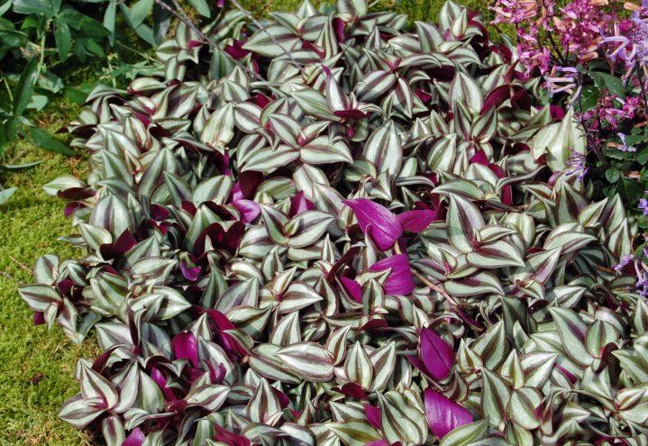 Vandrer, med botanisk navn Tradescantia zebrina