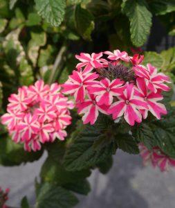 Verbena blomst