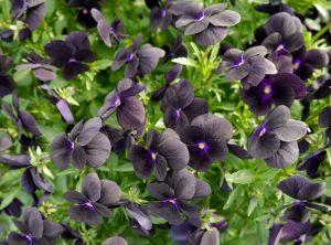 Viola, stemor i fløyelssvart