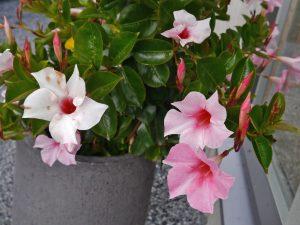Rosa ynde, en favoritt som tåler mye sol og varme