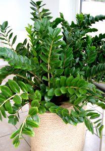 Zamioculcas er en skyggetålende grønnplante