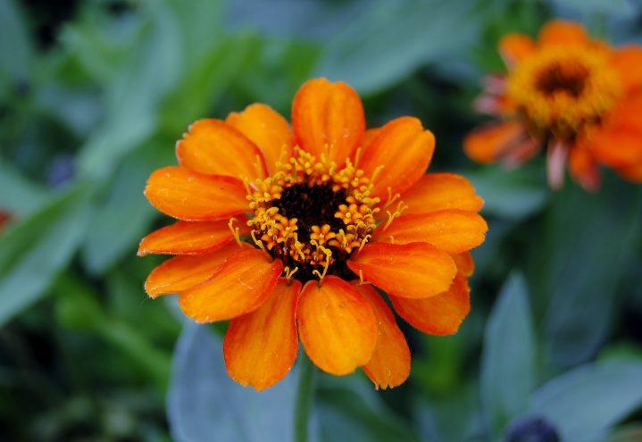 Zinnia i oransje