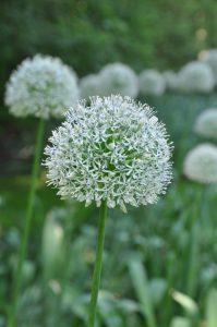 Bilde av Allium, bilde av prydløk