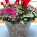 Høstsprek krukke, Alpefiol, pyntekål, cyclamen persicum, brassica