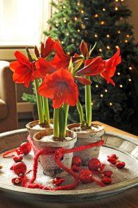 Julepyntet rød Amaryllis