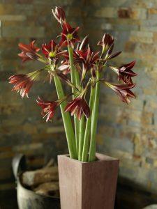 Strålende Amaryllis, Ridderstjerne, i rustikt miljø