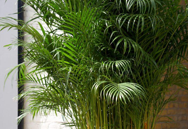 Arekapalme, Chrisalidocarpus lutescens