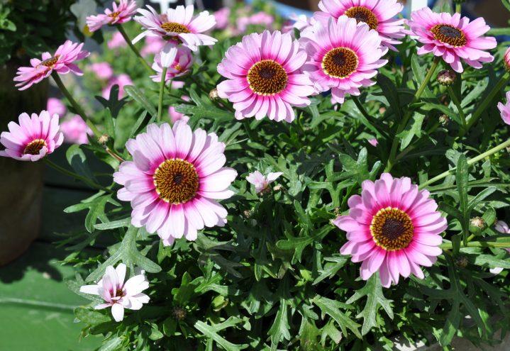 Margeritt, Argyranthemum frutescens