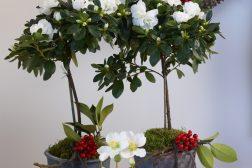 Hvite oppstammede Asalea, og julerose