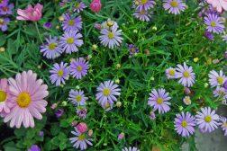 Sommerkrukke: Brachycome, Argyranthemum, Bacoba
