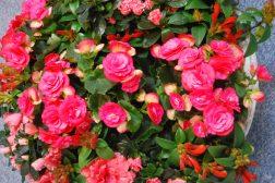 Harmoni i rødt: Samplanting Begonia, Asalea og fakkelblomst
