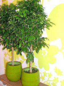 Bjørkefiken, Ficus benjamin trives godt innendørs