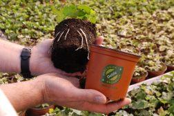 Hva skiller økologiske fra andre potteplanter?