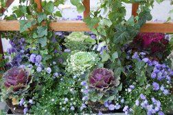 Eføy. Hedera helix, Campanula og Brassice, pyntekål