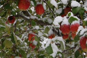 Epler under snø