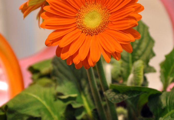 Oransje gerbera