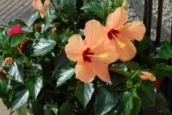 Hawaiiroser i krukker utendørs
