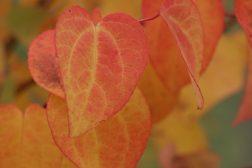 Få en fargerik høst med høstfargede busker og trær