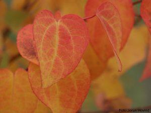 hjertetre, høstfarger, vakre høstblader,