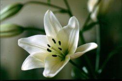Produksjon av liljer