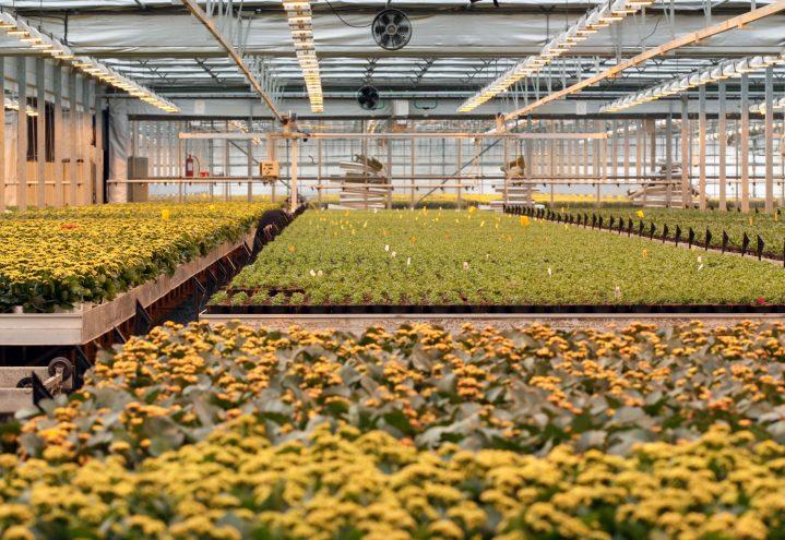 Påskeproduksjon i gartneriet
