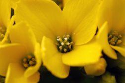 Syv gule blomster til påske