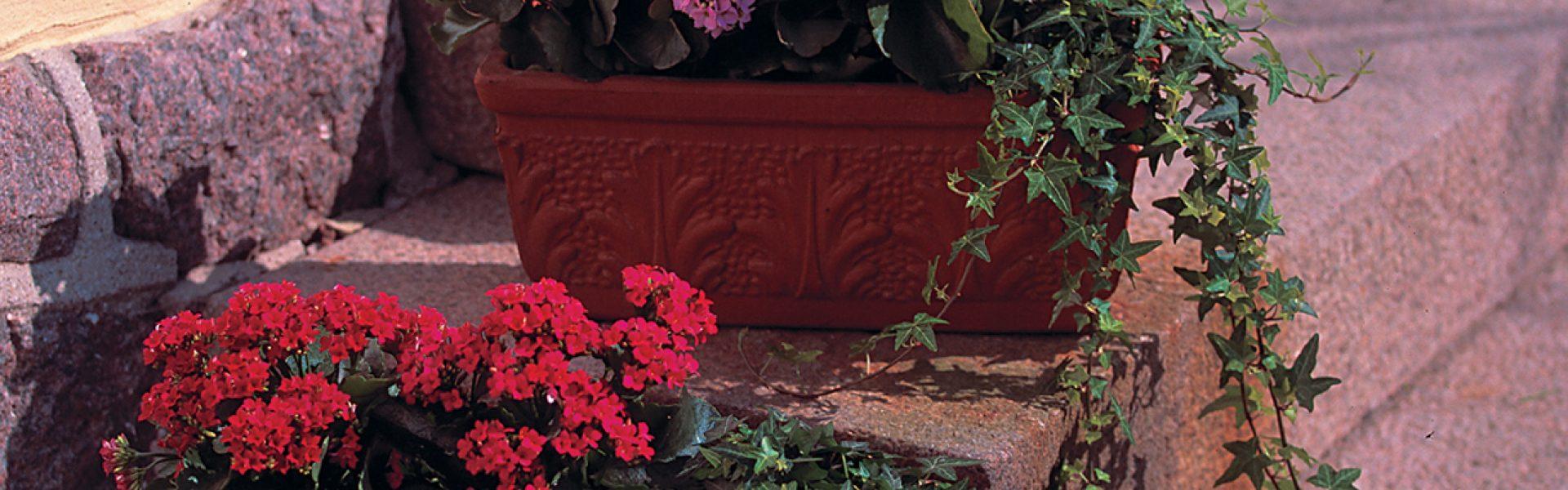Ildtopp kan plantes ut som sommerblomst