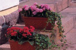 Ildtopp er en flott plante i krukke på trappen utendørs