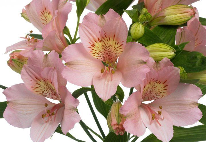 Inkalilje/Alstromeria i glødende rosa (nærbilde)
