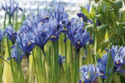 Iris reticulata, våriris