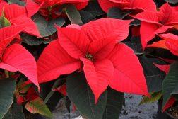 Produksjon av julestjerner, snart leveringklar