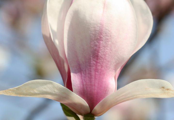 kobusmagnolia, magnolia kobus var borealis