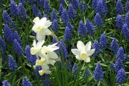 Perleblomster og narsisser