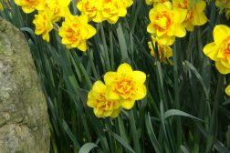 Narcisser, påskeliljer