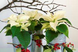 Hvit julestjerne