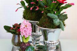 Lite kravstore adventsblomster: Ildtopp, svibel og adventskaktus