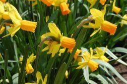 Påskelilje, Narcissus