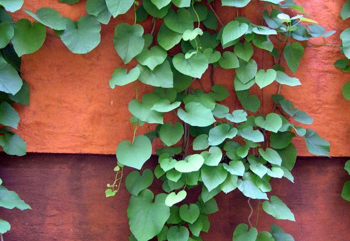 Pipeholurt, Aristolochia