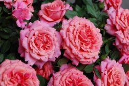 La romantikken blomstre med potteroser