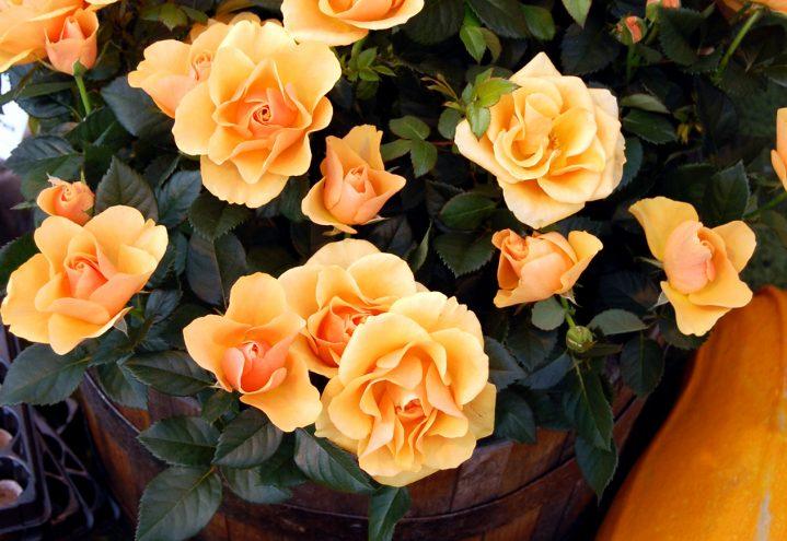 Gresskar og roser til Halloween