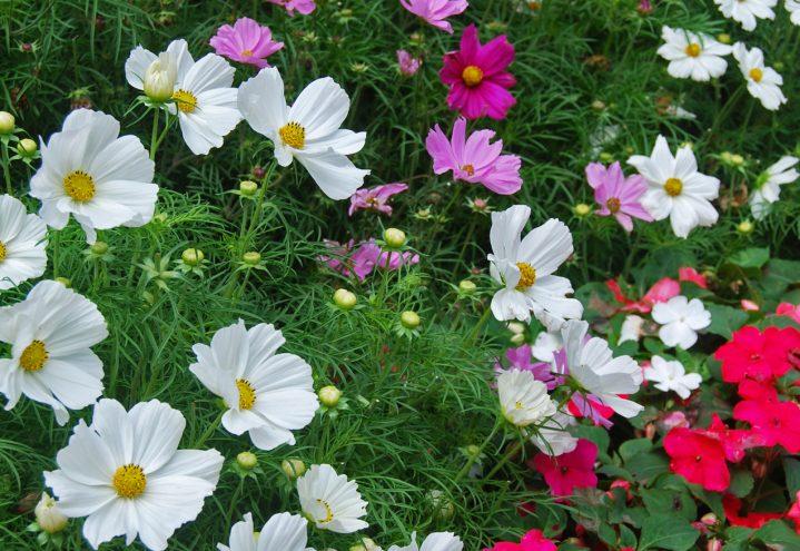 pyntekorg, Cosmos bipinnatus, i blomsterbed sammen med Impatiens