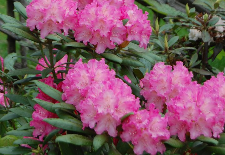 Rhododendron i rosa