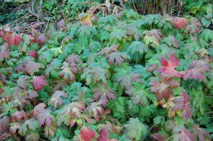 Rosestorkenebb, Geranium macrorrhizum