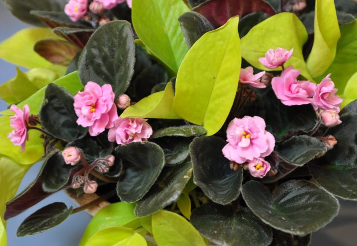 saintpaulia, epipremnum pinnatum, gullranke