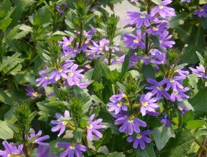Femtunge gir frodig blå sommer!