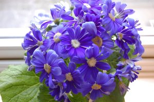 sineraria blå
