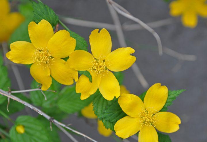 Soleiebusk, Kerria japonica
