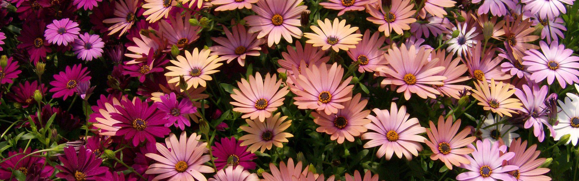 Spansk margeritt – sommerfavoritt i krukker og bed