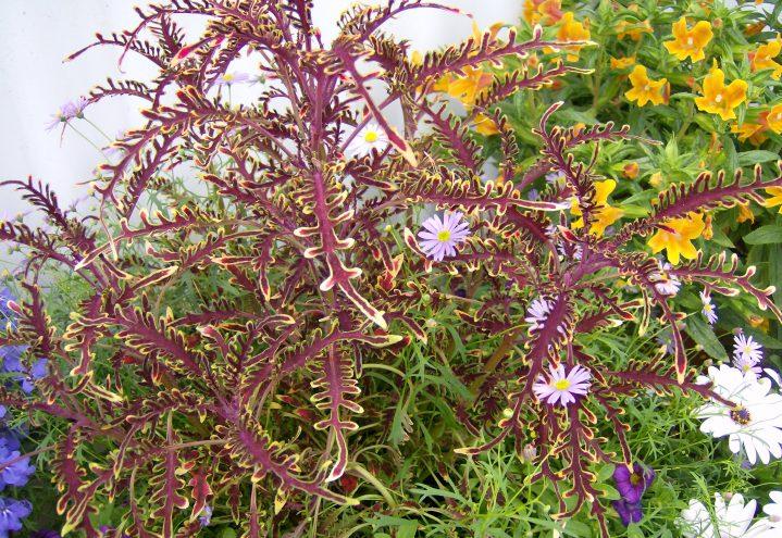 Coleus i blomsterbed, praktspragle stueplante, praktspragle praktfulle blader