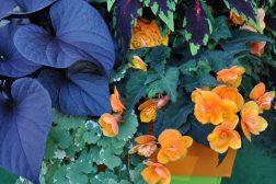Samplanting med praktspragle, ipomea, begonia og georginer